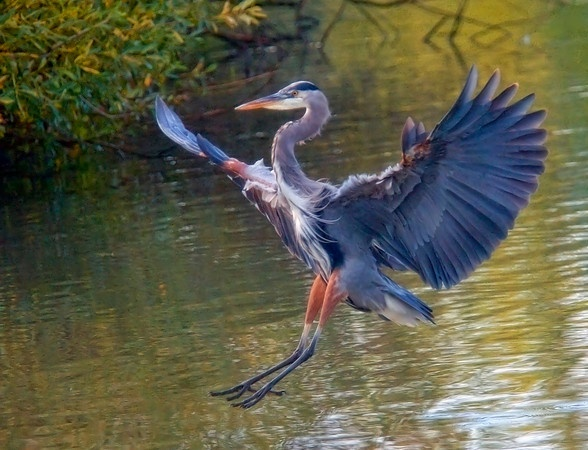 heron, water, bird, nature
