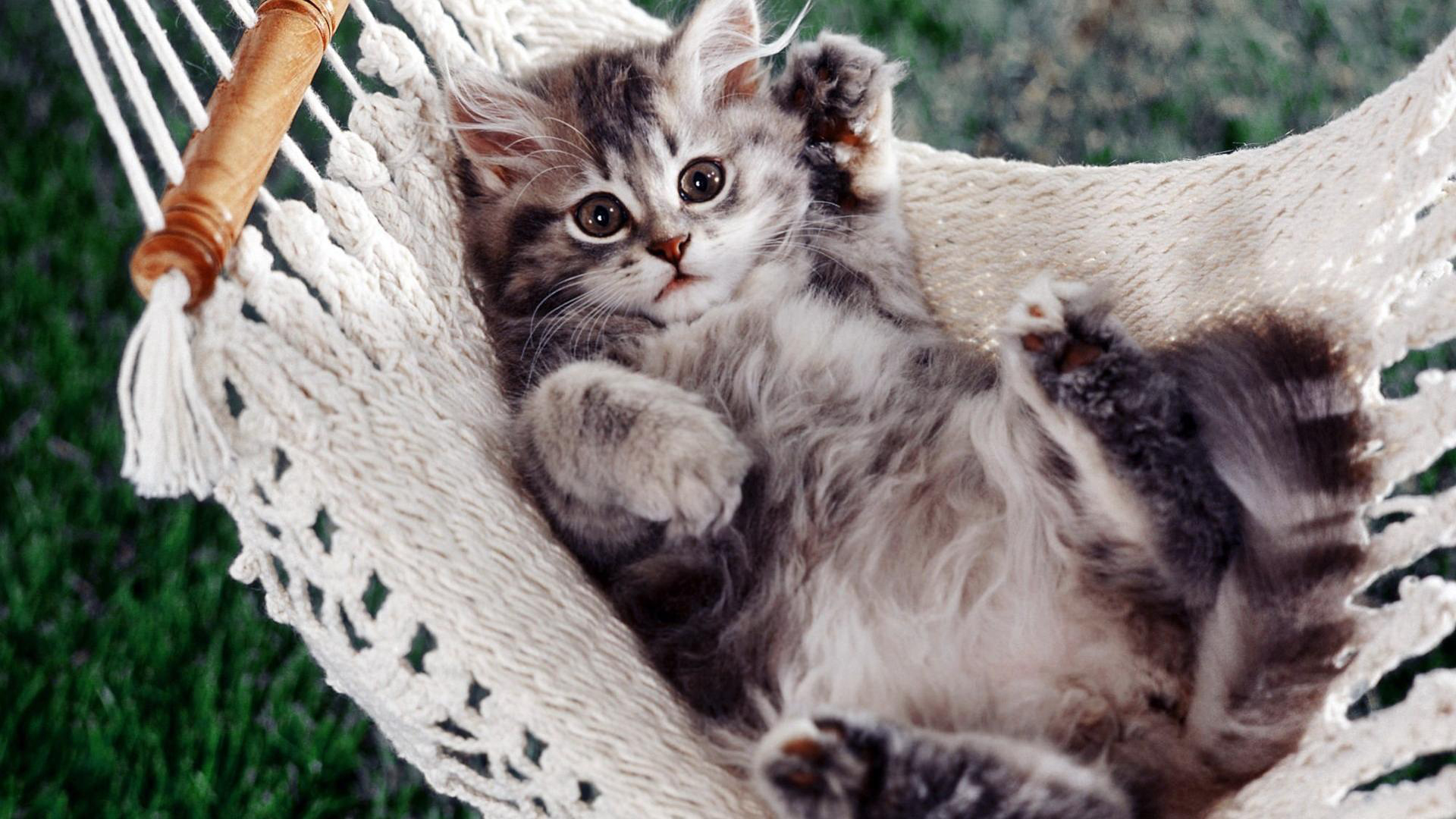 kitten, a hammock, an animal