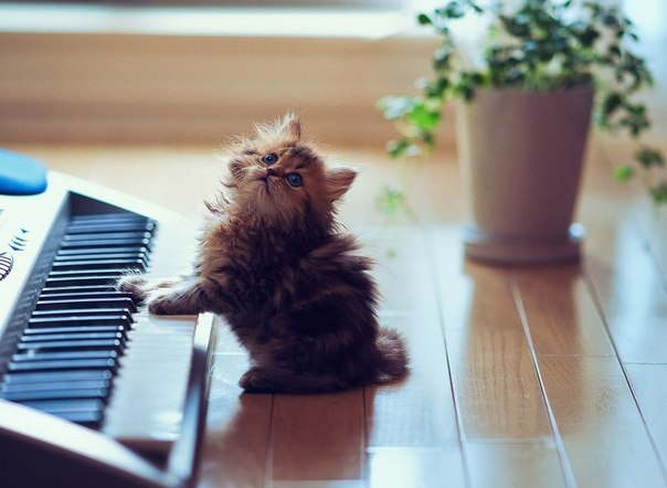 kitty, cute, piano