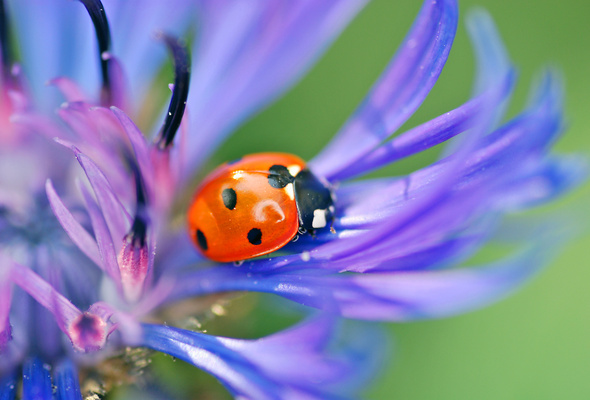 ladybug, a beetle, the flower