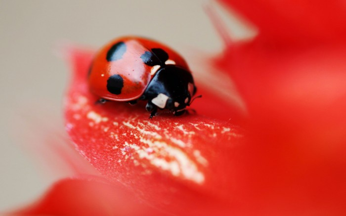 ladybug, a red, insects