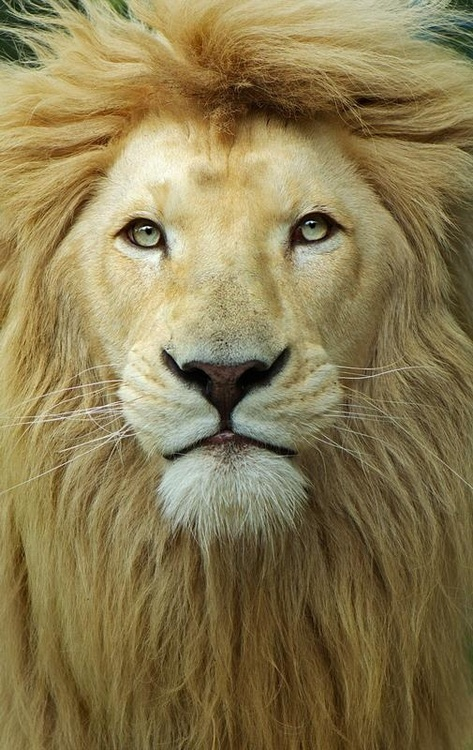 lion, nature, animal, majestic, eyes