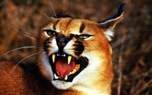 lynx, a cat, teeth, anger