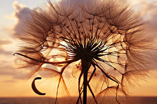 nature, dandelion, sunset