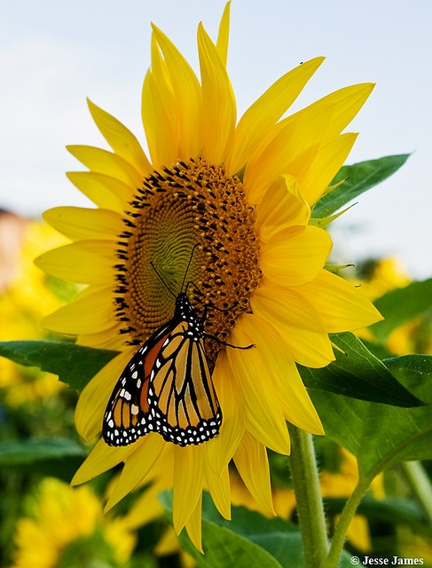 butterfly, flower, nature, sunflower
