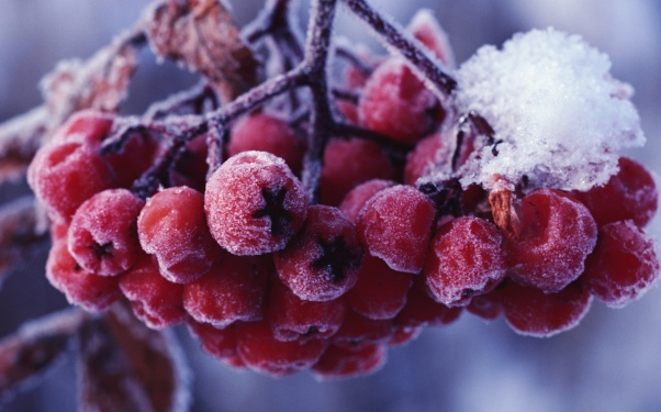berries, berry, frost, fruit, macro, mountain ash, nature, snow, winter