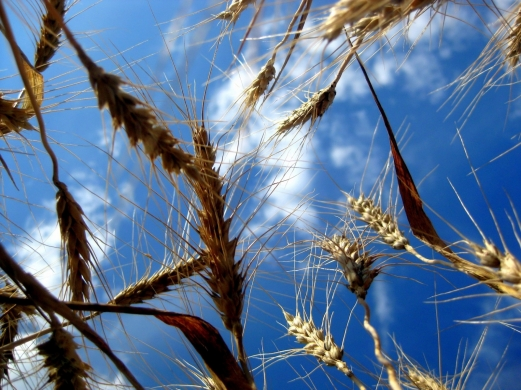 nature, wheat ear, the sky