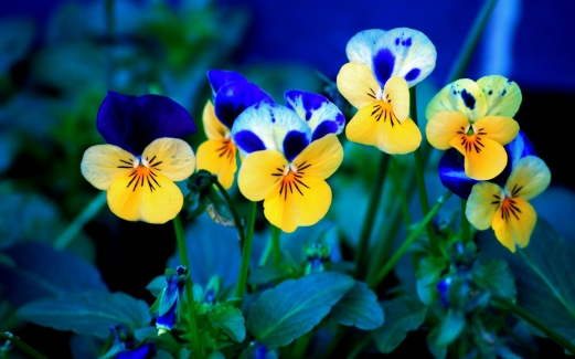 pansies, macro, nature