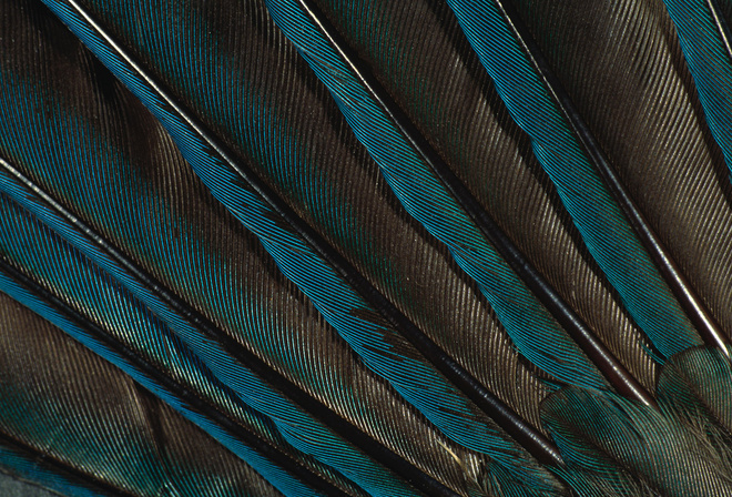 peacock feather, feathers