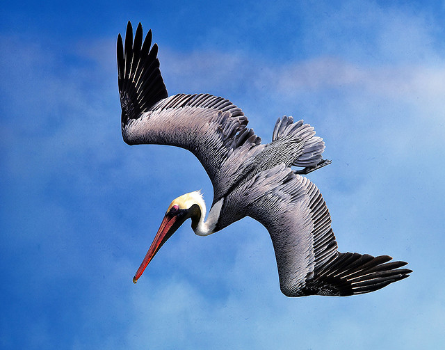 pelican, animal, cool, flying, bird