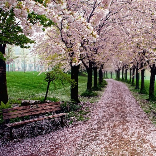 pink, nature, cherry blossoms, trees, beautiful