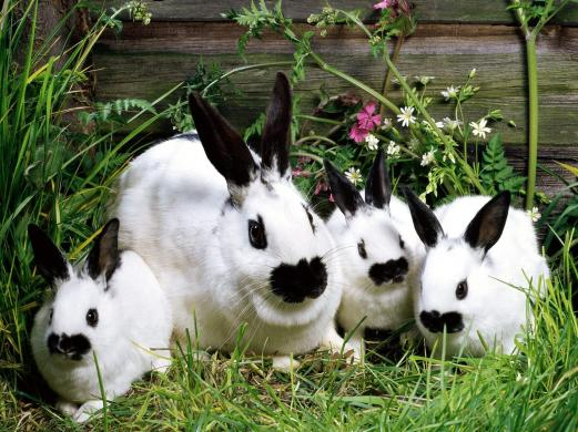 rabbits, grass, animals