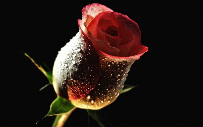 rose, the freshness, the dew, beautiful wallpaper