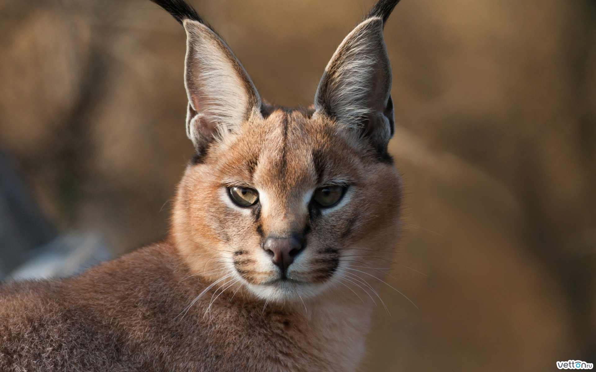 sight, ears, caracal, brushes, soft