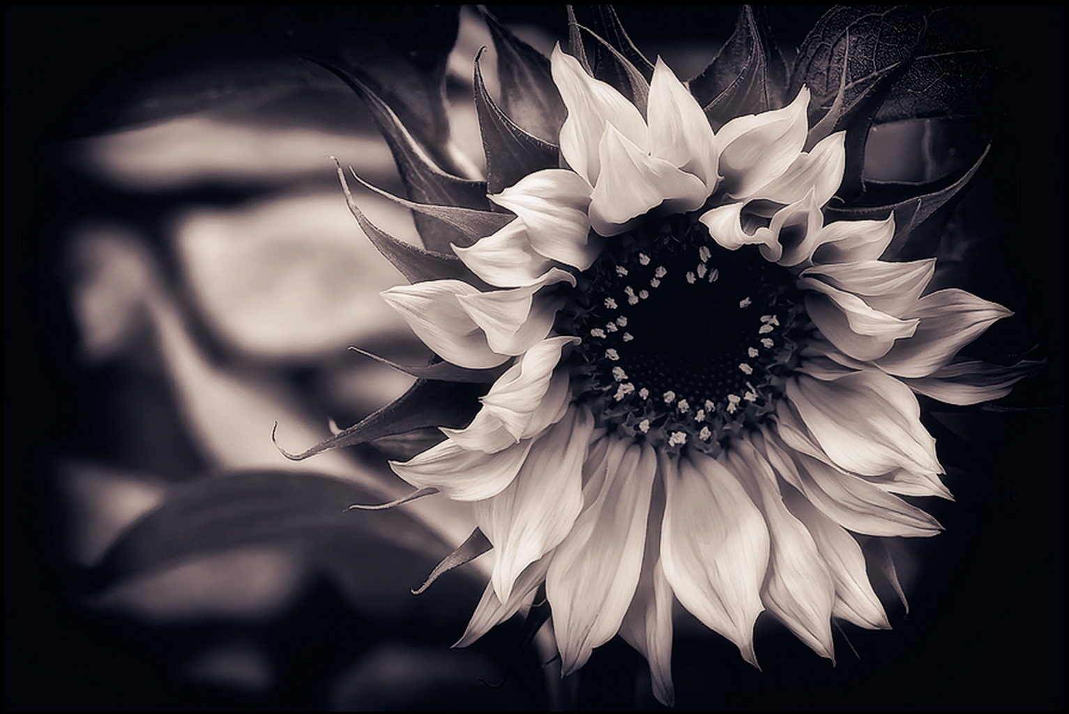 sunflower, black-and-white, background