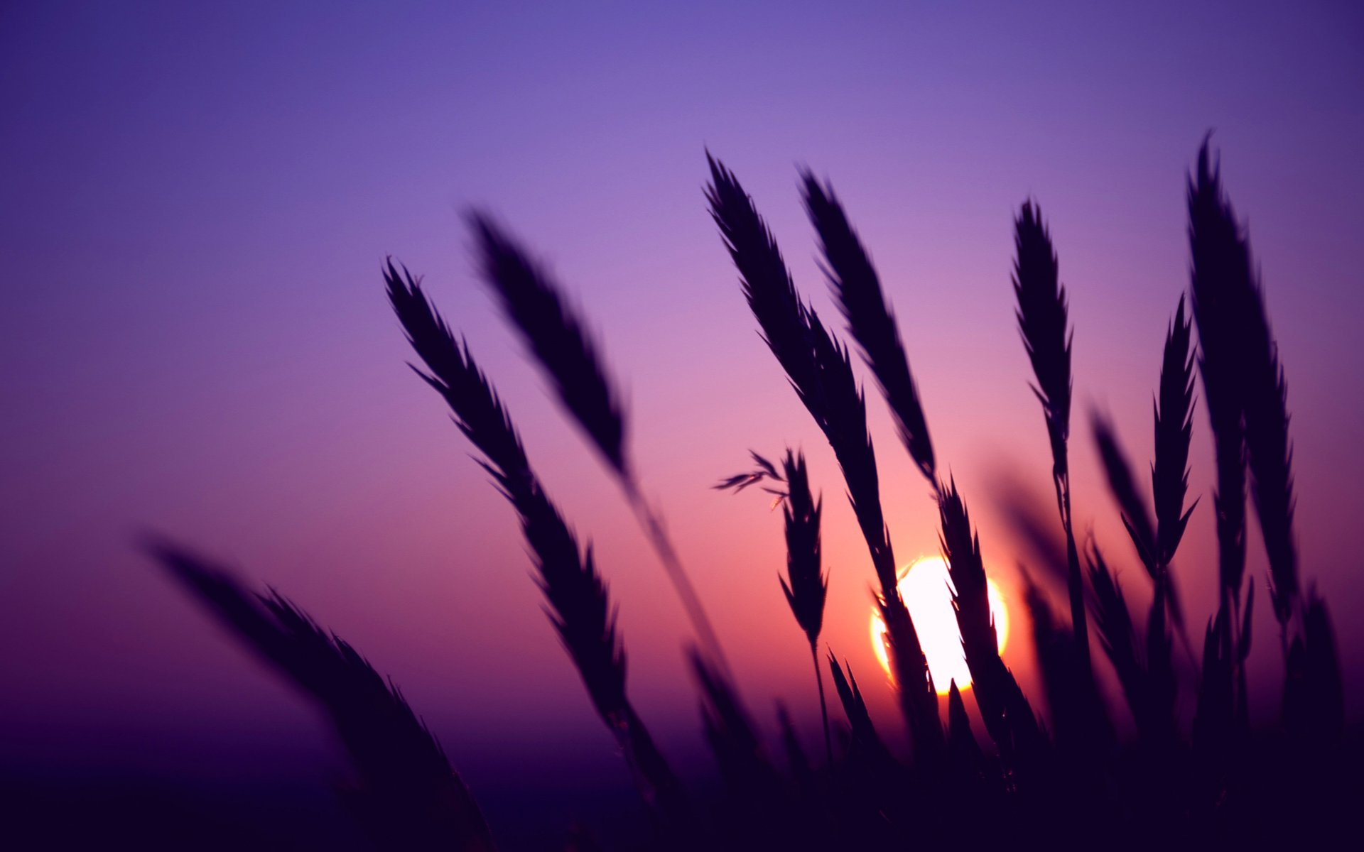 sunset, evening, wheat spikelets
