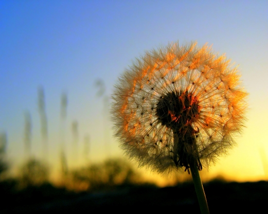 sunset, flower, dandelion