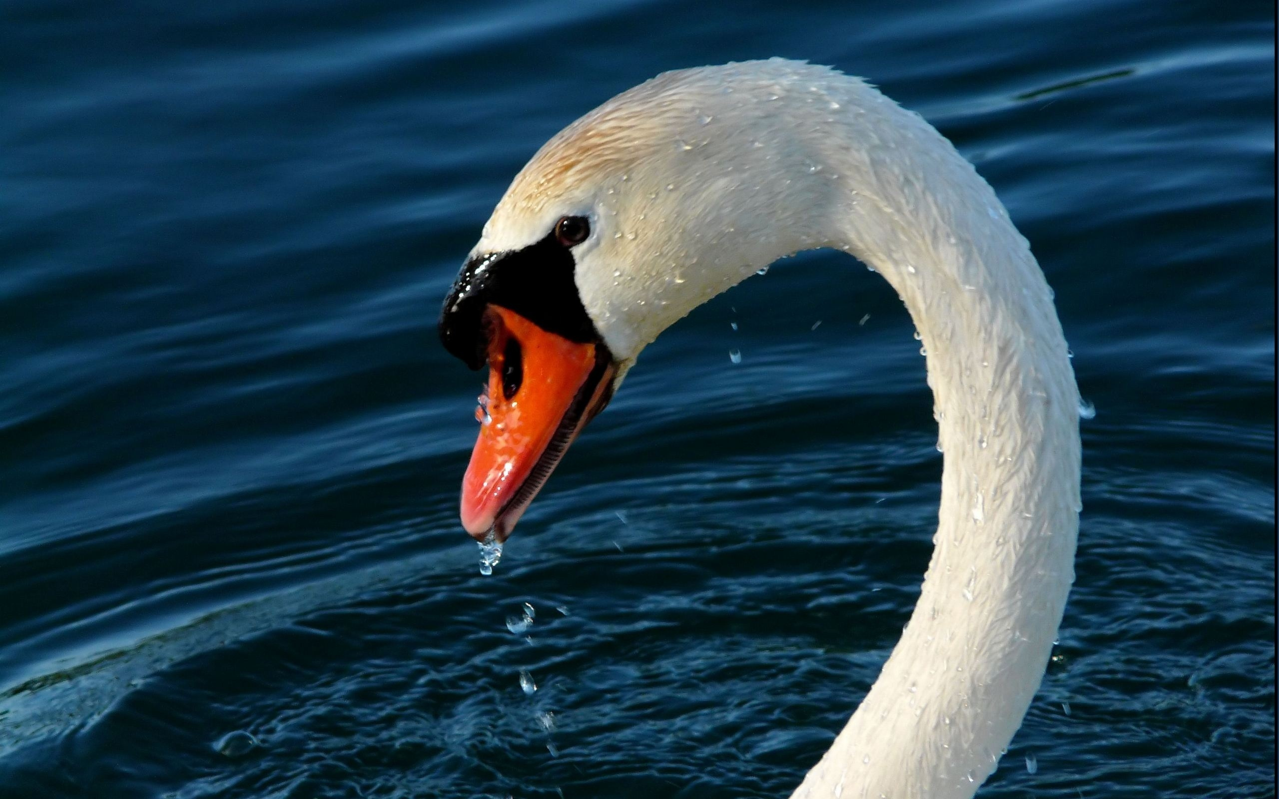 swan, water, bird, lake
