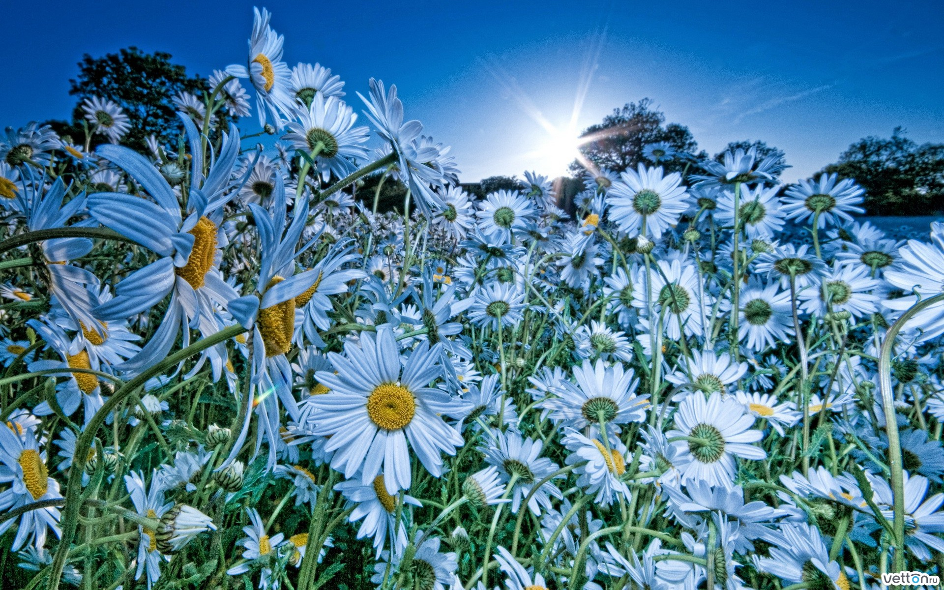 the sun, golf, summer, flowers, daisies