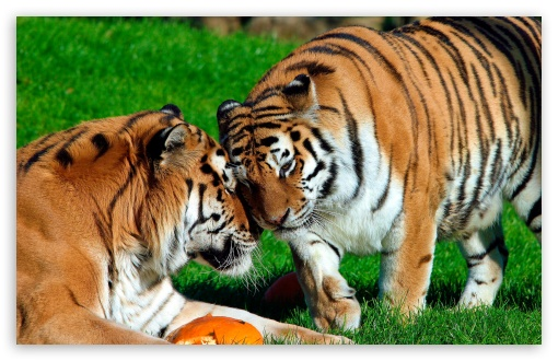 tigers, amur, wild, animals
