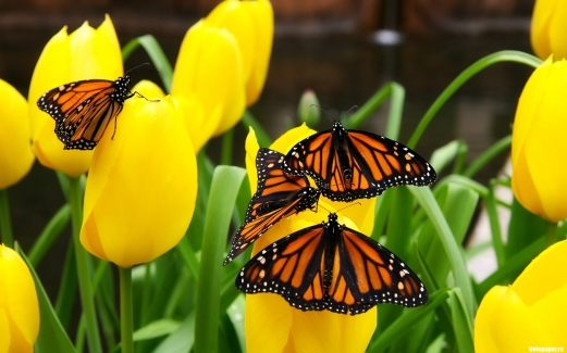 butterflies, flowers, meadow, tulips
