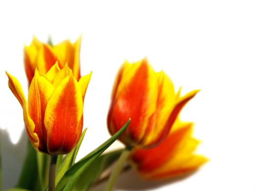 tulips, flower, spring