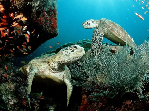 turtle, ocean, coral, deep