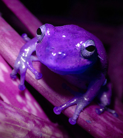 violet, magenta, frog, cute, awesome