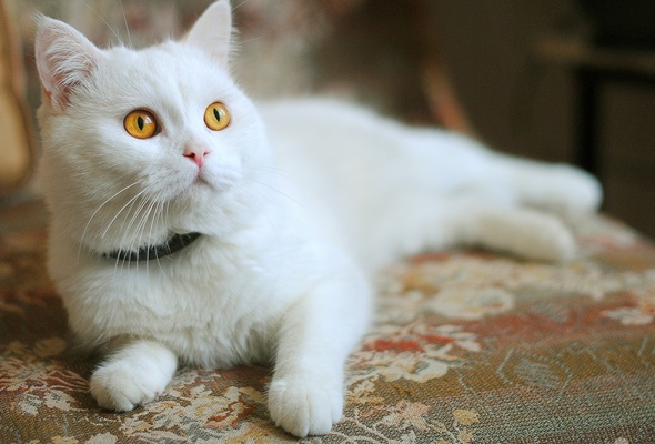 white, cat, dog collar