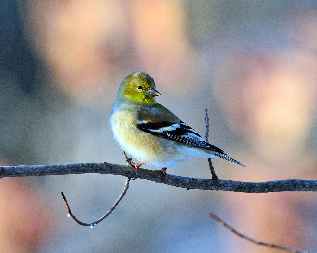 American Goldfinch, Goldfinch, american, Spinus tristis