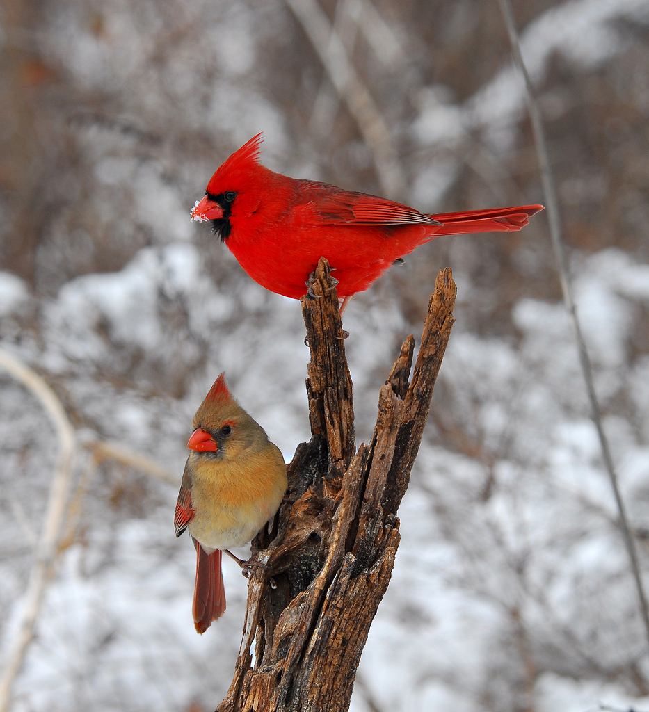 Bird, Northern Cardinal, tree, snow