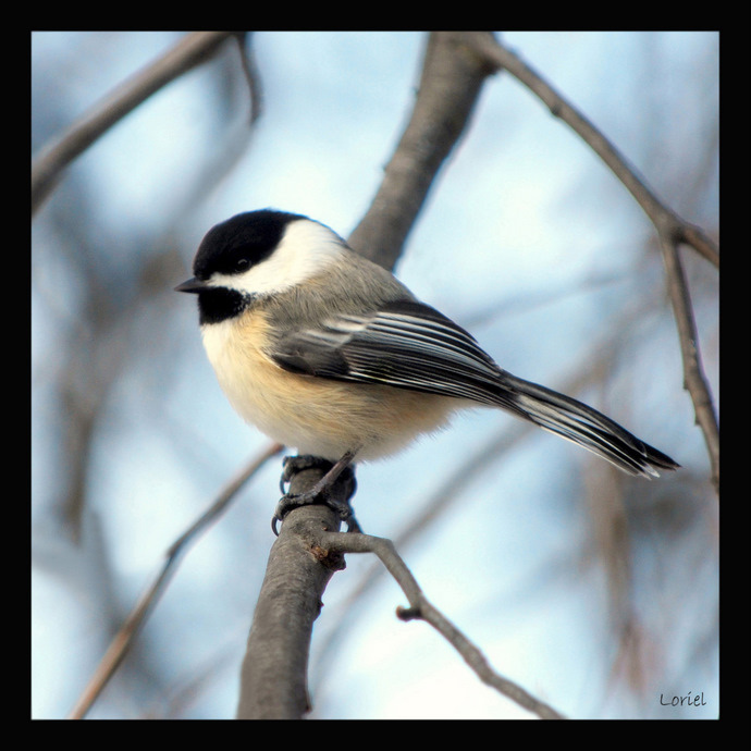 Black-capped Chickadee, Bird, Cute, Michigan Wildlife