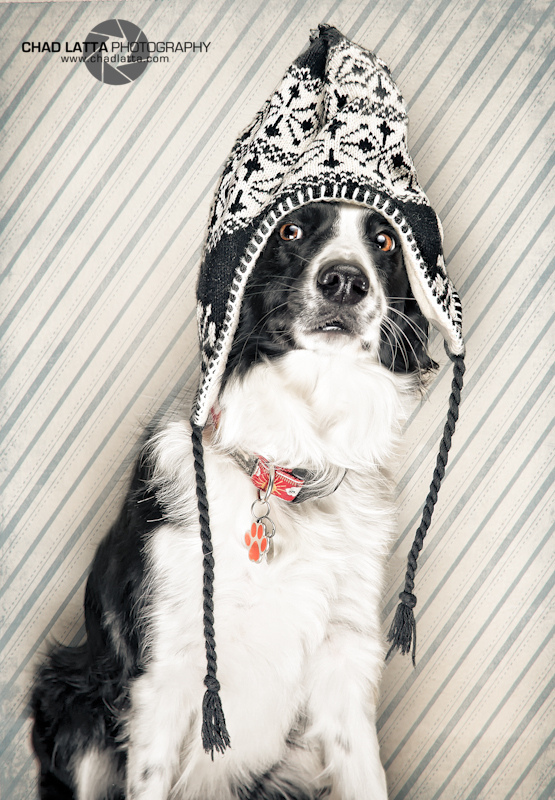 abby, animal, animal themes, black, bonnet, border, border collie, canine, chad, chien, close-up, collie, collier, color image, costume, d80, dog, gapjan11cl, goofy, hat, humor, indoors, knit hat, latta, looking away, nikon, no people, one animal