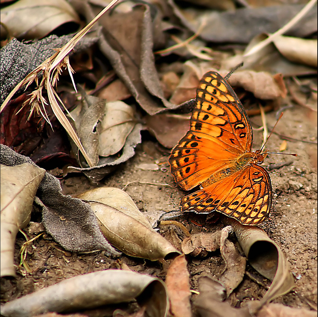 butterfly, nature, canon, orange