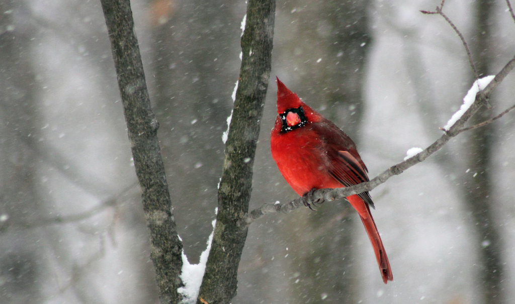 cardinal, snow, snowstorm, red bird
