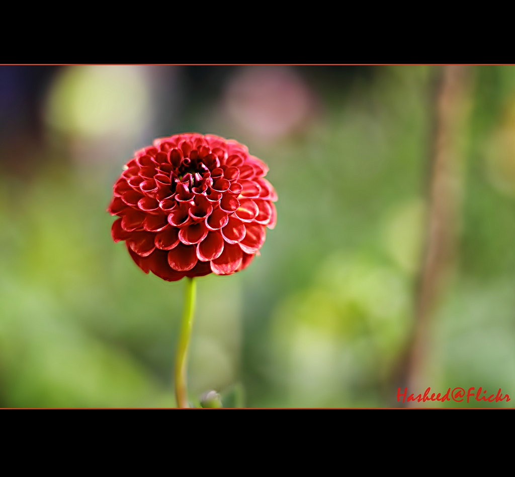 Dahlia, flower, Bruce W. Currie, Red