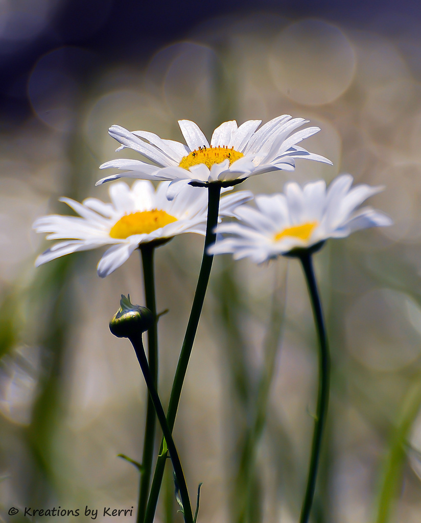 daisy, flower, wildflower, nature