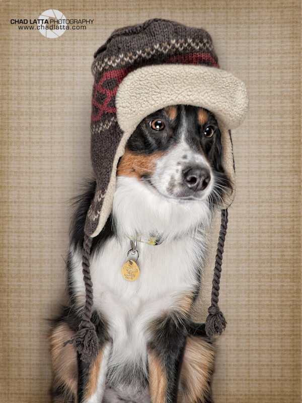 animal, australian, australian shepherd, bonnet, canine, chad, costume, d80, dog, gapjan11, goofy, hat, latta, ldl portraits, loki, nikon, portrait, shepherd, superstars