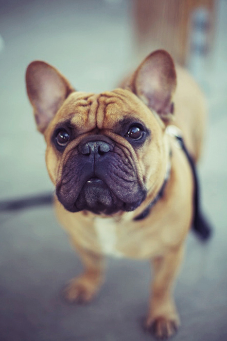dog, dogs, max, french bulldog