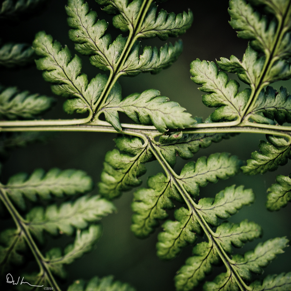 Fern, Macro, Fractals, Bokeh