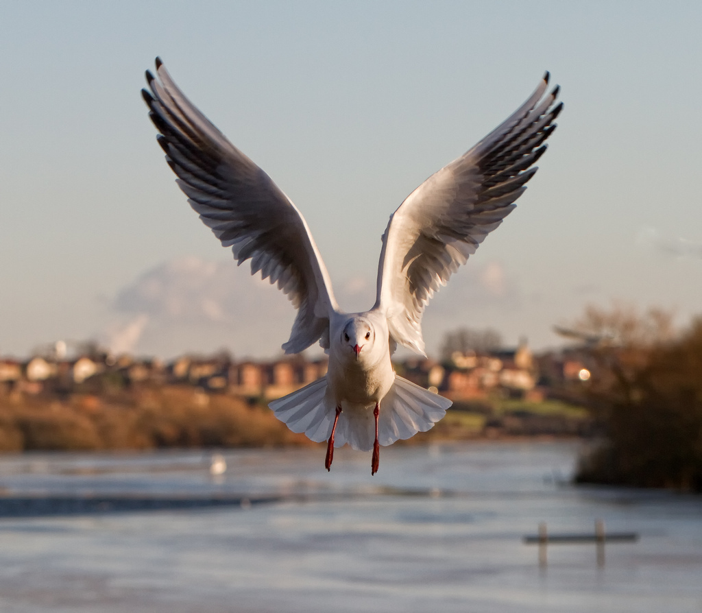 gull, bird, fairburn, 7d
