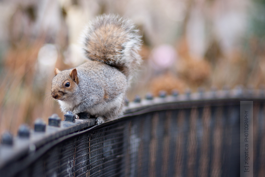 hff, fence, nyc, squirrel