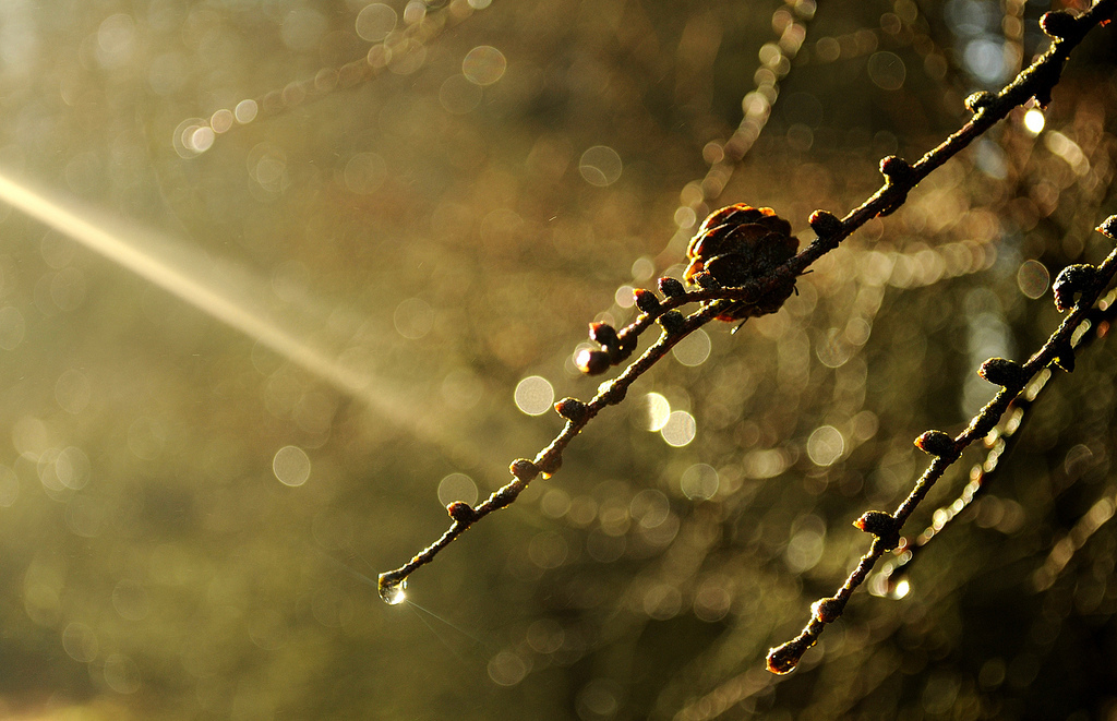 larch, water drops, bokeh, sunlight