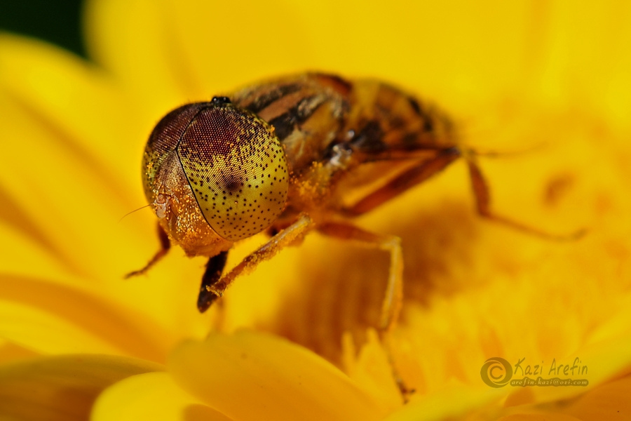 Macro, Hoverfly, Cosmos, Close-up
