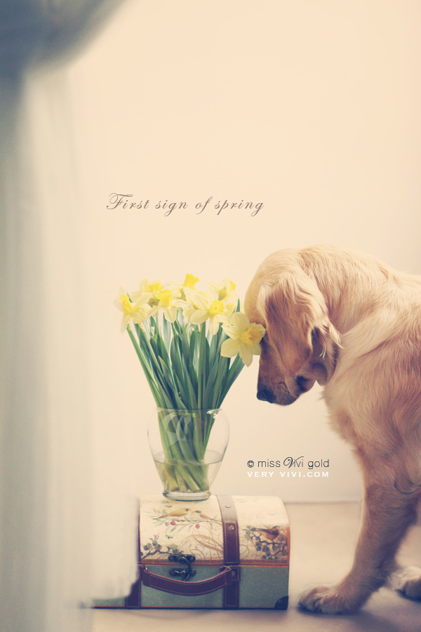 7d, canon, daffodils, dog, explore, explored, flickr explore, golden retriever, miss vivi gold, spring, very vivi, victorian, vintage