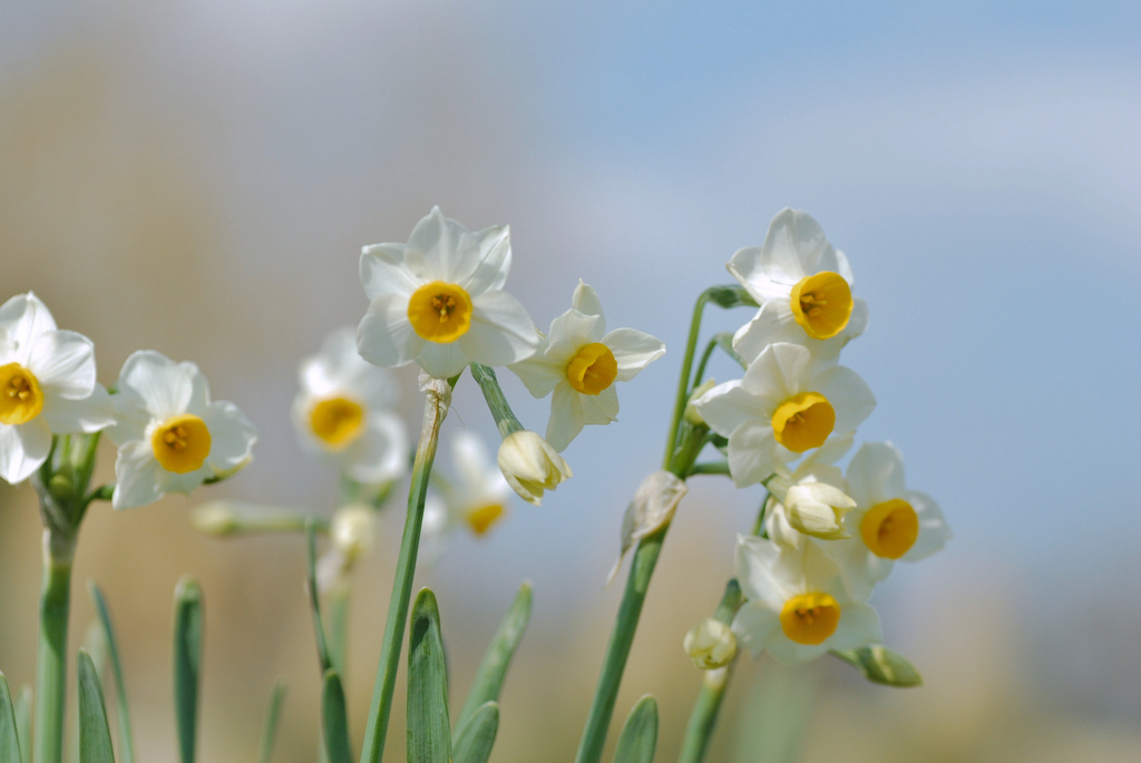 narcissus, flowers, botanical garden, ??