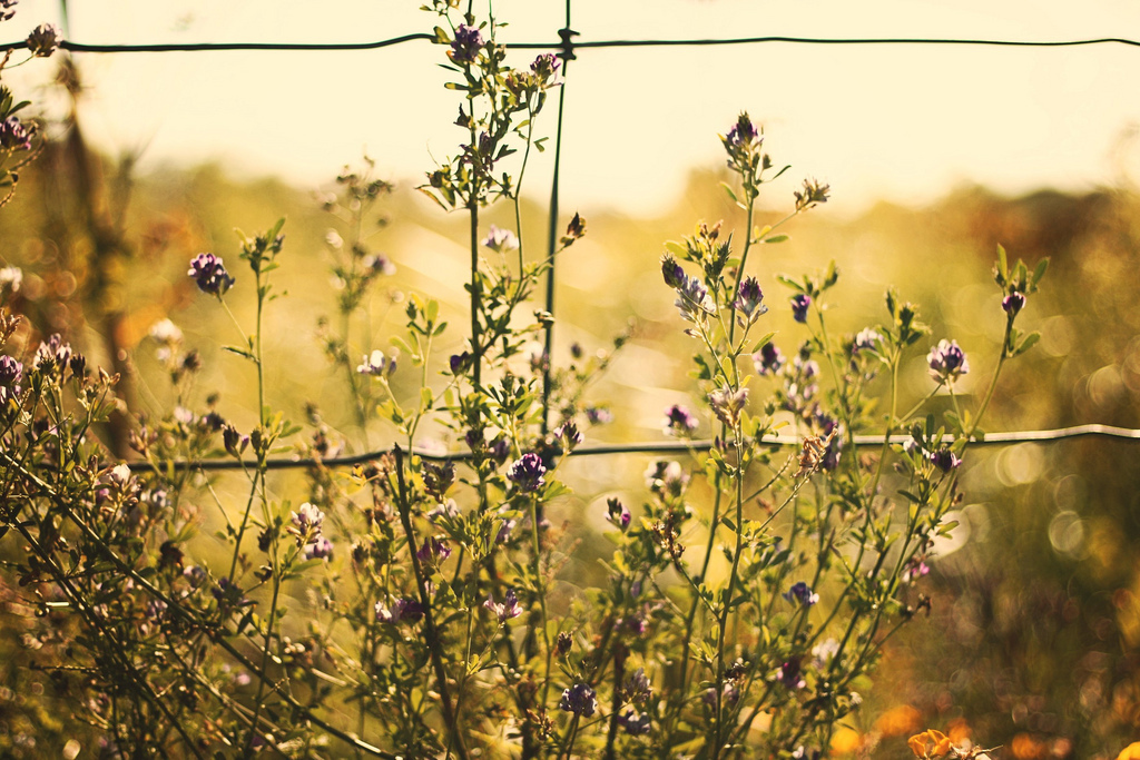 nature, fence, purple, flowers