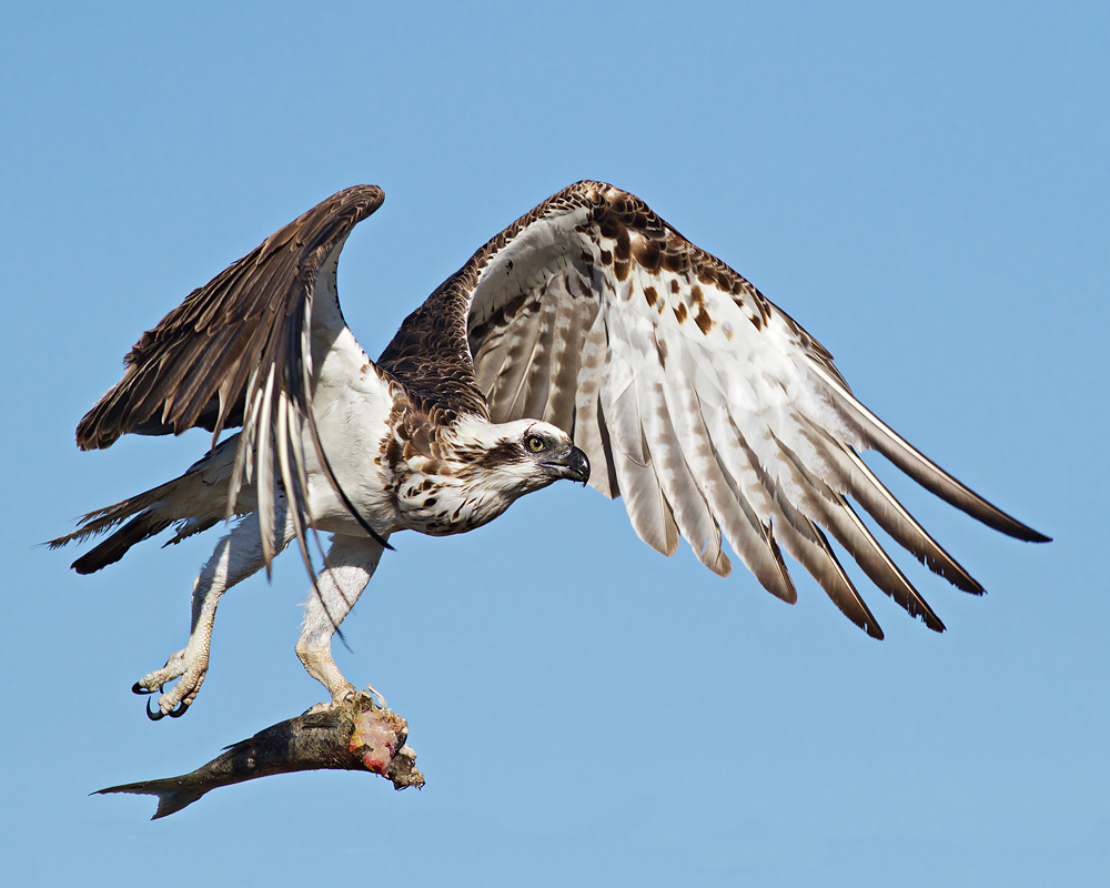 osprey, raptor, bird of prey