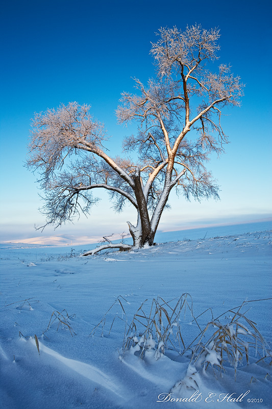 Palouse, snow, tree, dawn