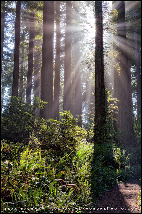redwoods, forest, trees, Redwood National Park